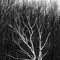 Winter Birch by Jason Glerum