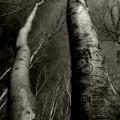 Winter Birch by Kim Zier