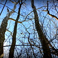 Winter Birch by Mary Collins