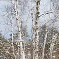 Winter Birch by Michele Albu
