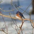 Winter Bluebird Art by Smilin Eyes  Treasures