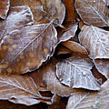 Winter Brown Leaves Powdered With Frost by Keenpress