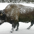 Winter Buffalo by Patricia Montgomery
