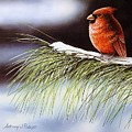 Winter Cardinal by Anthony J Padgett