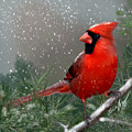 Winter Cardinal by Becky Herrera