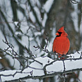 Winter Cardinal by Michael Peychich