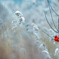 Winter Cardinal by Ray Hennessey