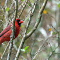 Winter Cardinal Sits On Tree Branch by Sharon Minish
