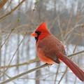 Winter Cardinal by T Mooney