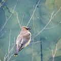 Winter Cedar Waxwing by Heather Applegate
