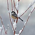 Winter Chickadee by Diane E Berry