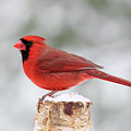 Winter Day Cardinal by Sue Feldberg