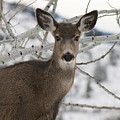 Winter Doe Of The Okanagan by Tiffany Vest