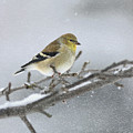 Winter Finch 2010 by Deborah Benoit