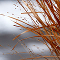 Winter Grass - 2 by Linda Shafer