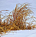 Winter Grasses by Steve Harrington