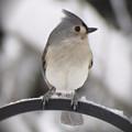 Winter Gray - Bird by MTBobbins Photography