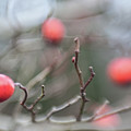 Winter Hawthorn by Scott Campbell