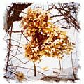 Winter Hydrangea by Caitlin Lodato