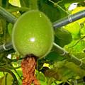 Winter Melon In Garden 2 by Jeelan Clark