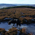 Border Collie - Winter Moorland by Phil Banks