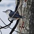 Winter Nut Hatch by Al Fritz