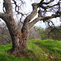 Winter Oak by Donna Blackhall
