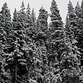Winter Pine Spires by Joshua Bales