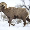 Winter Ram by Douglas Kikendall