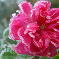 Winter Rose by Susan Baker