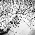 Winter Shrubs, New Hampshire by Black Crow Landing