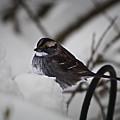 Winter Sparrow by Teresa Mucha