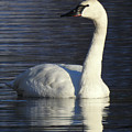 Winter Swan by Christopher Brown