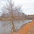 Winter Tree On Pond Shore by Gina O'Brien