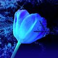 Winter Tulip Blue Theme 2 by Johanna Hurmerinta
