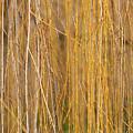 Winter Willow by Melanie Rainey