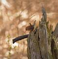 Winter Wren by Charles Owens
