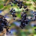 Winterberries I by Jai Johnson