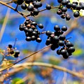 Winterberries II by Jai Johnson