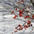 Winterberries by Pam Meoli