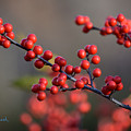 Winterberry by Chris Busch