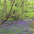 Winterbourne Bluebells by Tony Murtagh