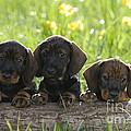 Wire-haired Dachshund Puppies by Jean-Louis Klein & Marie-Luce Hubert