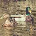Wisconsin Ducks by Viviana  Nadowski