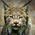 Wise Bob Cat by John Olson