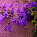 Wisteria At Sunset by Regina Donetskaya