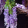 Wisteria by Donna Bentley