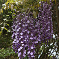 Wisteria by Sally Weigand