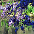 Wisteria by Terry Anderson