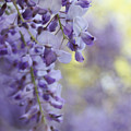 Wisteria's Soft Floral Whispers by Jennie Marie Schell